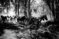 PEDRO ESTEVES - WILD HORSES-F100047_MPR45x30-0
